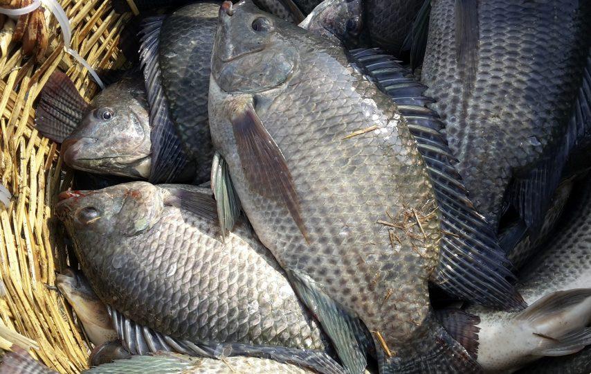 kỹ thuật nuôi cá rô phi