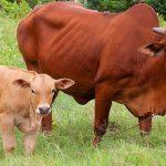 kỹ thuật nuôi bò sinh sản