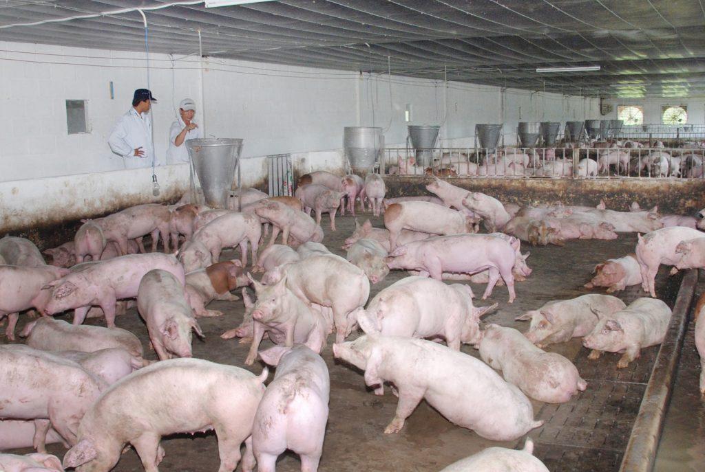 kỹ thuật nuôi heo thịt