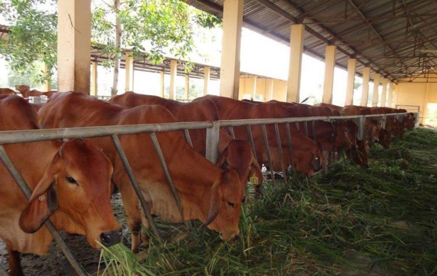 kỹ thuật nuôi bò