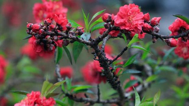 Hoa đào bích - Cách chọn đào tết đẹp