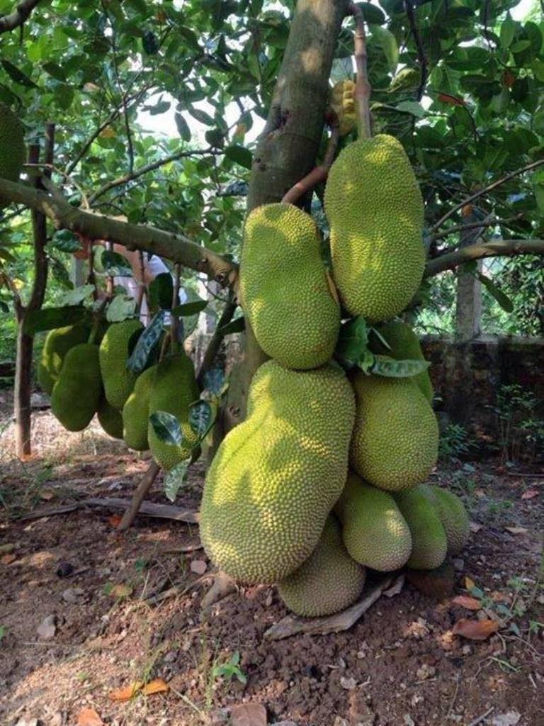 Trồng cây ăn quả ngắn ngày Mít Thái Changai