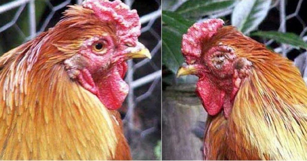 Phòng bệnh cho gà theo kinh nghiệm dân gian - Bệnh đậu gà