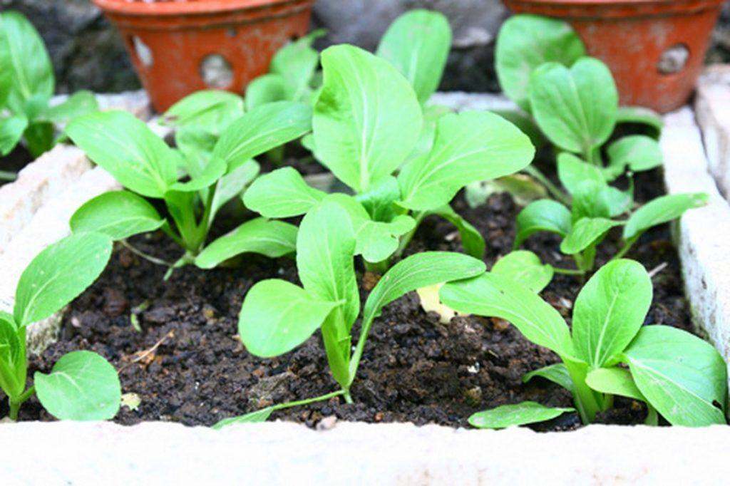 cách trồng cải ngọt