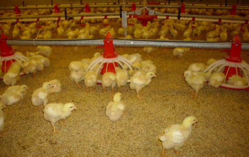 cách nuôi gà con