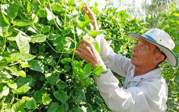 trồng rau mồng tơi