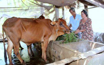kỹ thuật nuôi bò thịt