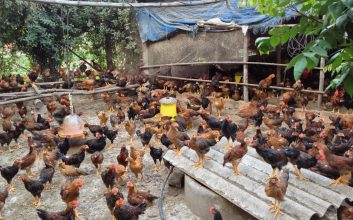 mô hình nuôi gà