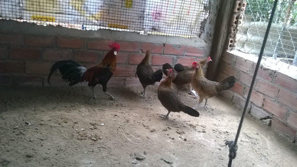 nuôi gà rừng