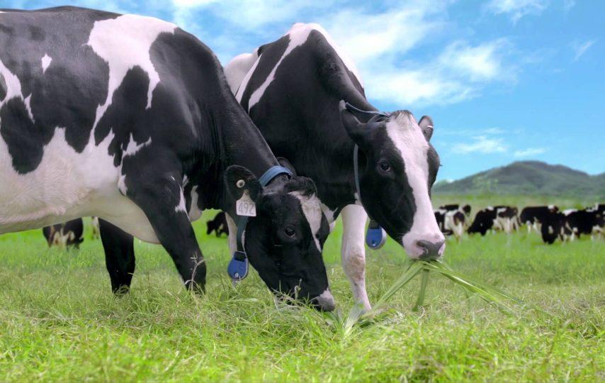 chăn nuôi bò sữa
