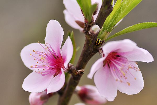 Hoa đào phai - Cách chọn đào tết đẹp