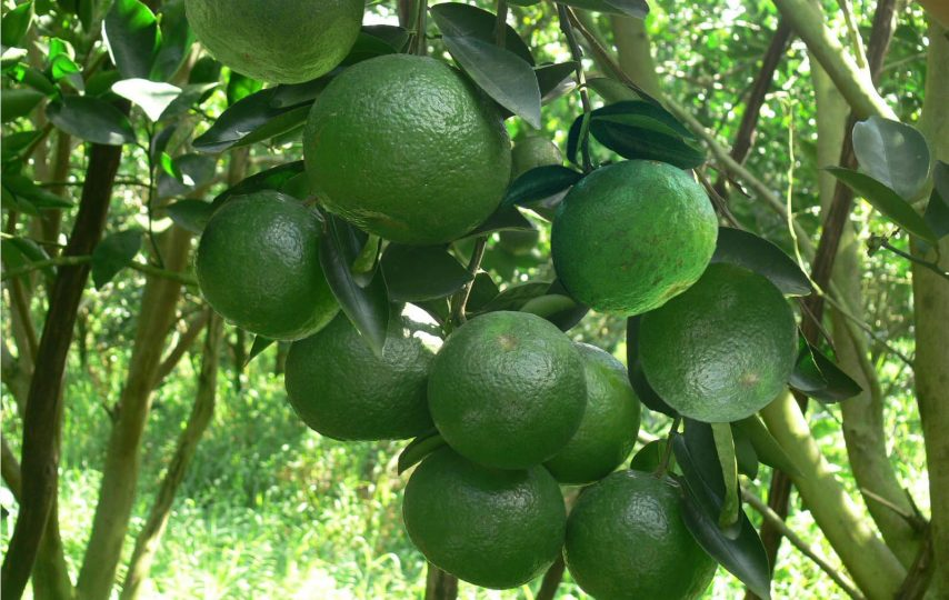 Cam sành là cây ăn quả ngắn ngày
