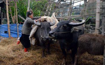 Phòng chống rét cho trâu bò