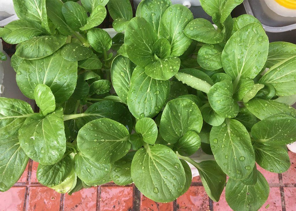 kỹ thuật trồng cải ngọt