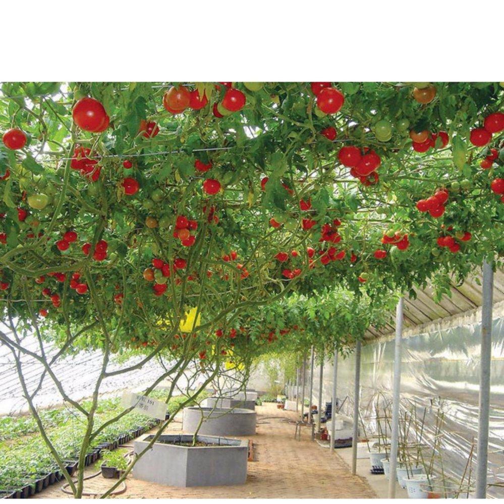 giàn cà chua