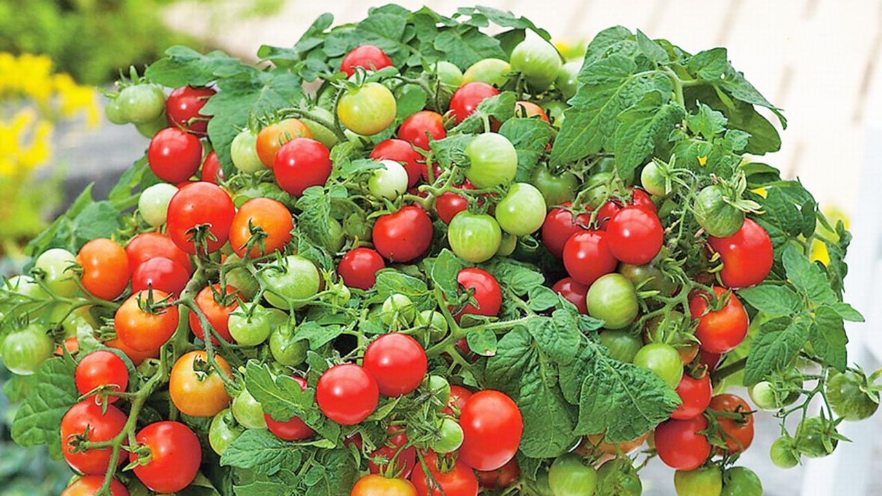 Vị trí trồng cà chua