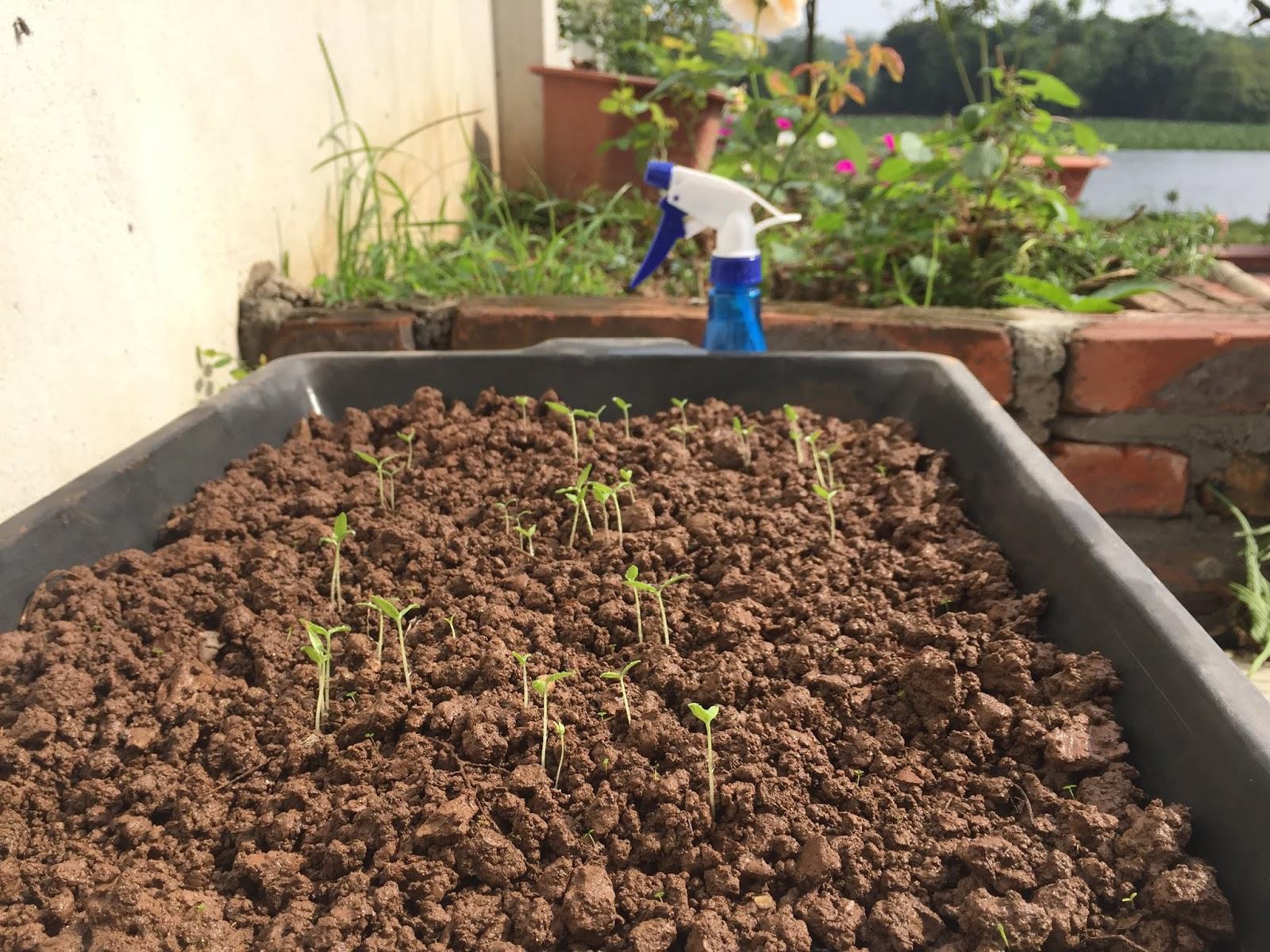 Chuẩn bị đất trồng cà chua