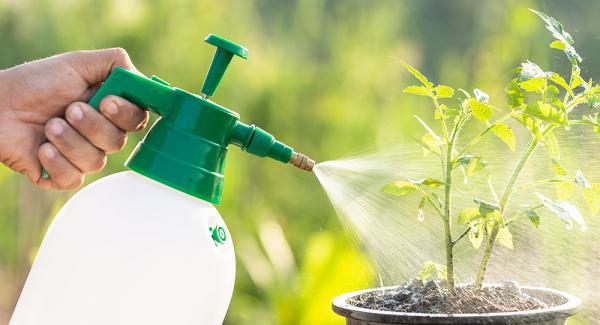 Tưới nước cho cây cà chua
