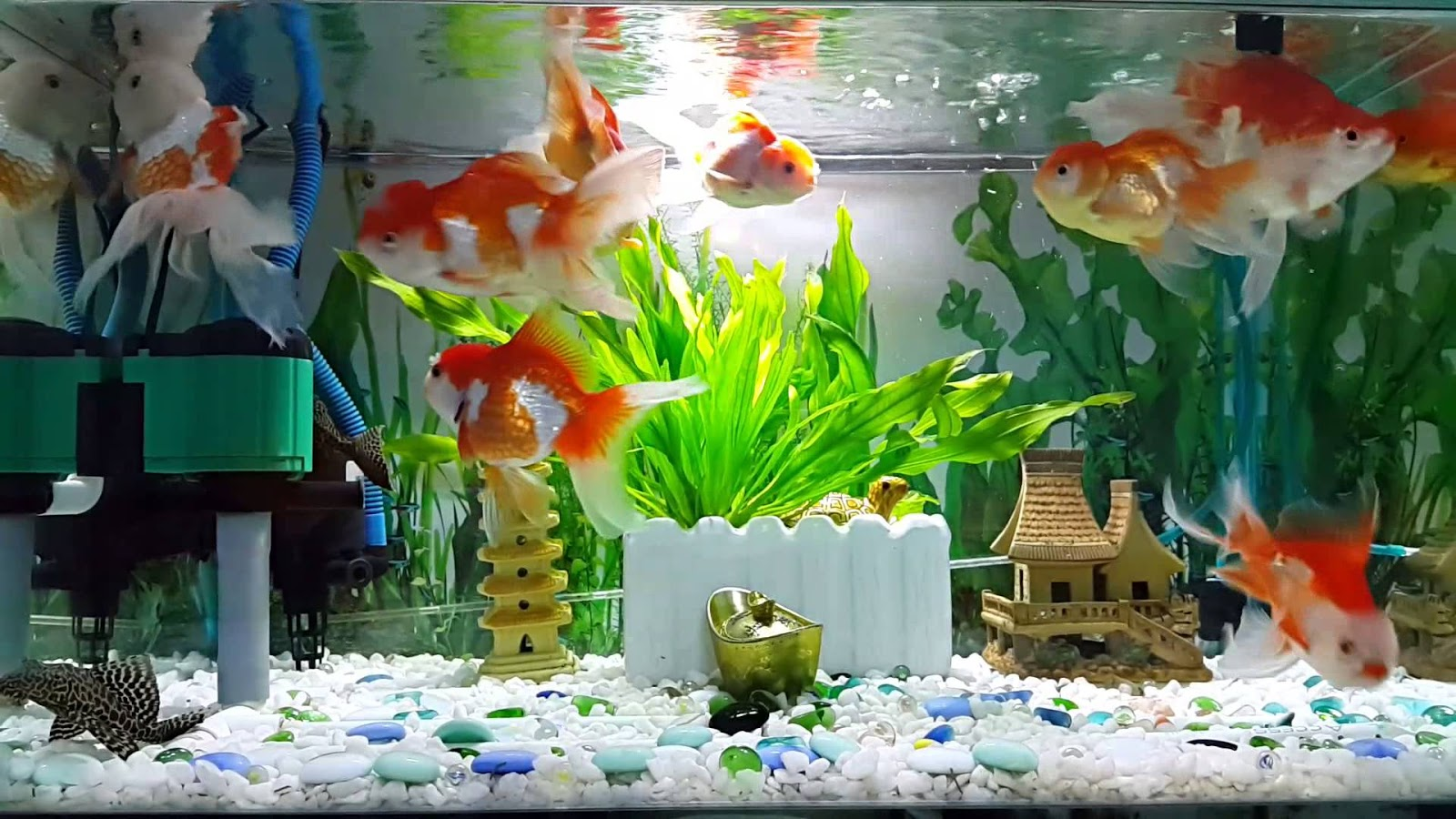 Điều chỉnh nhiệt độ, ánh sáng, oxy khi nuôi cá cảnh
