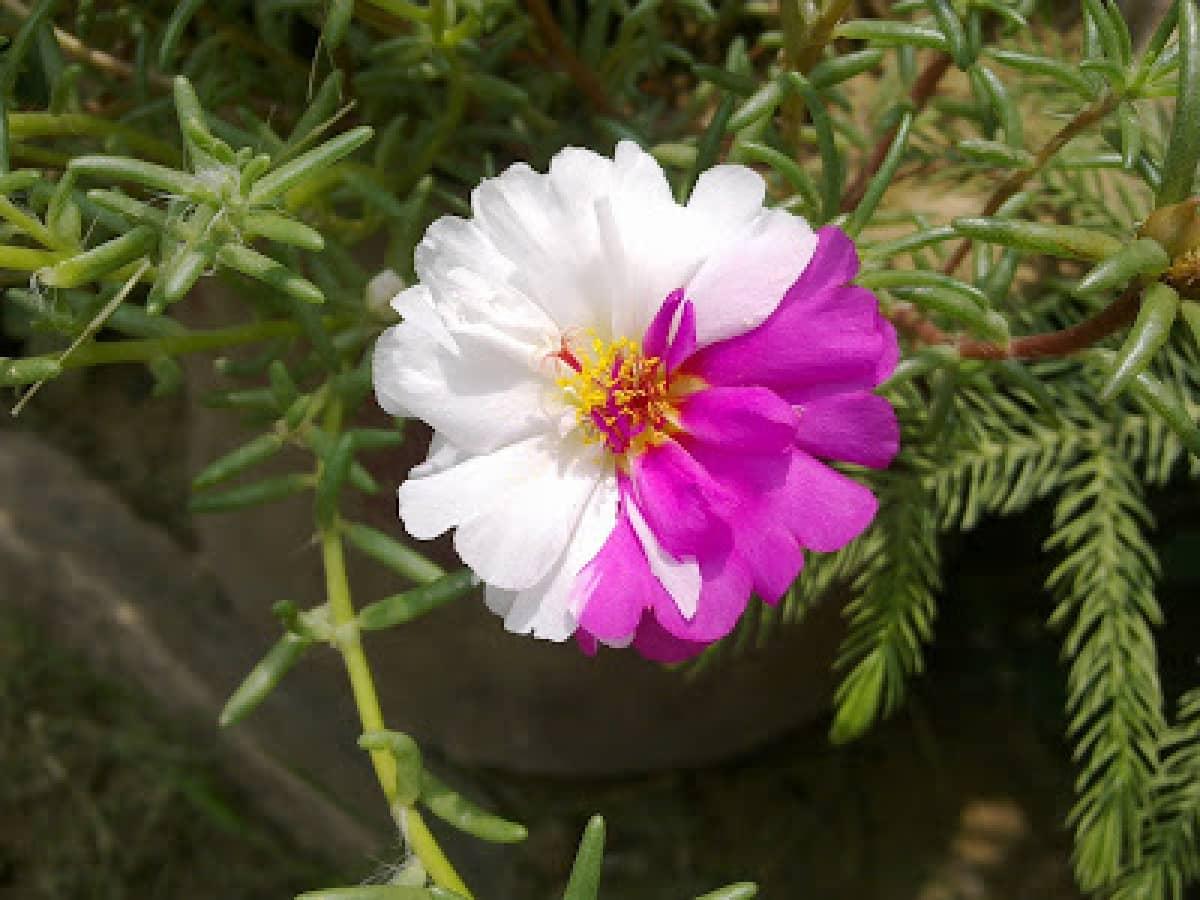 Bón phân khi trồng hoa mười giờ đẹp