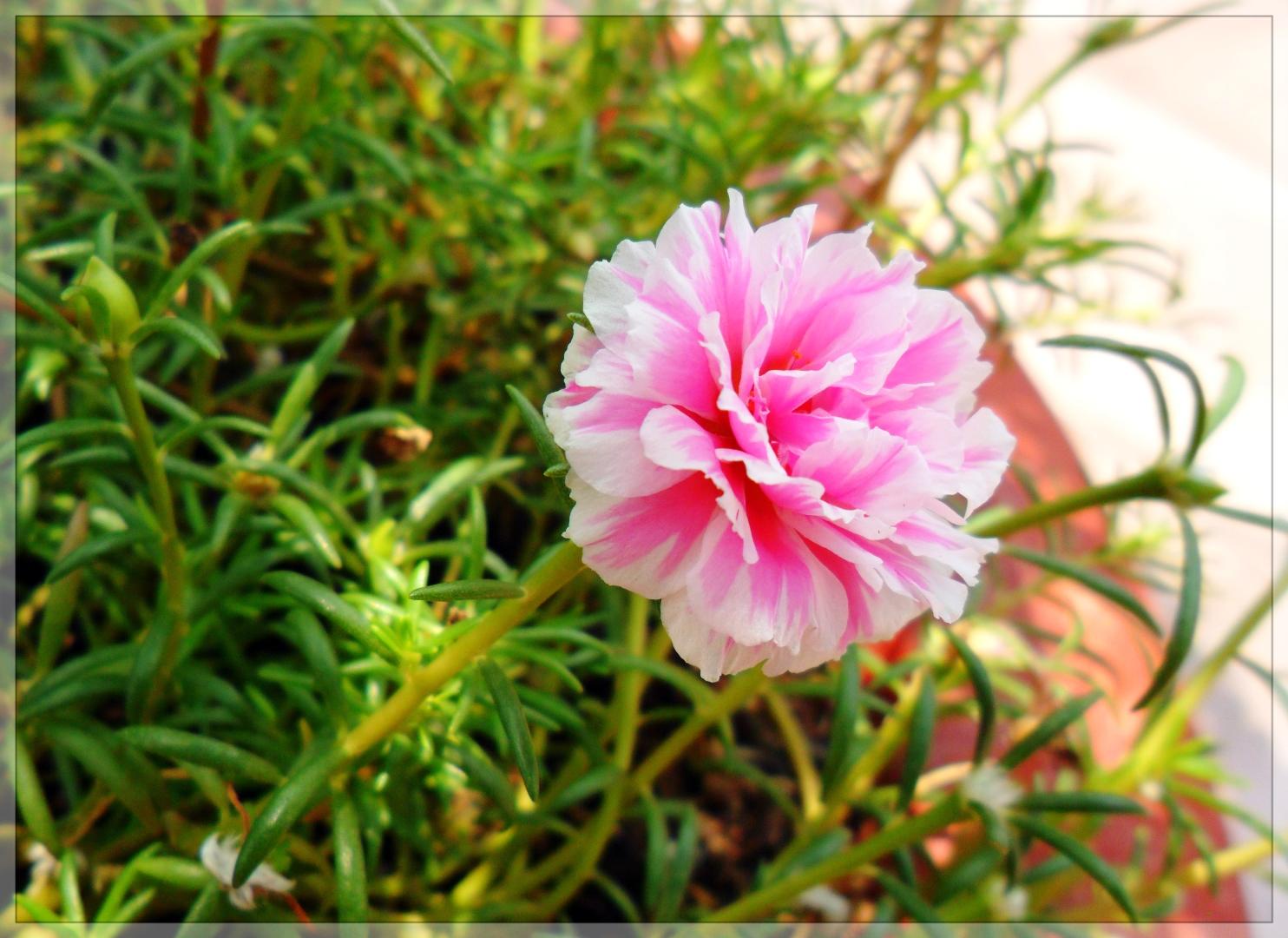 Cách lai tạo hoa mười giờ