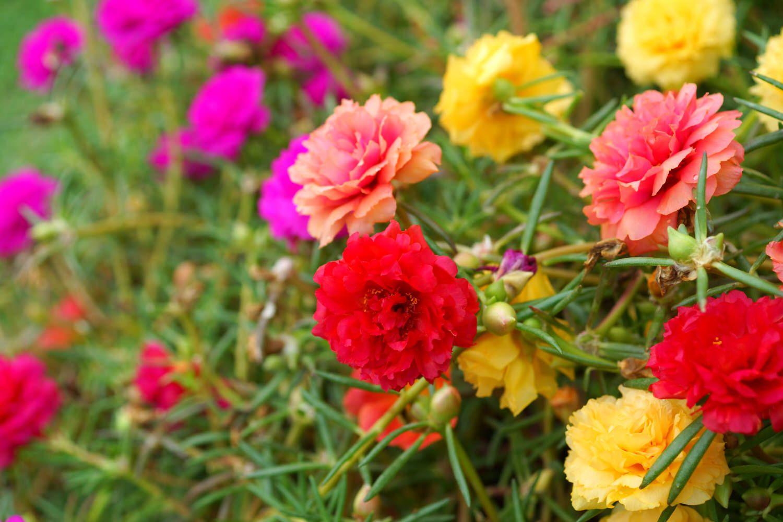 """Tìm hiểu về loài hoa rực rỡ """"dễ tính"""""""